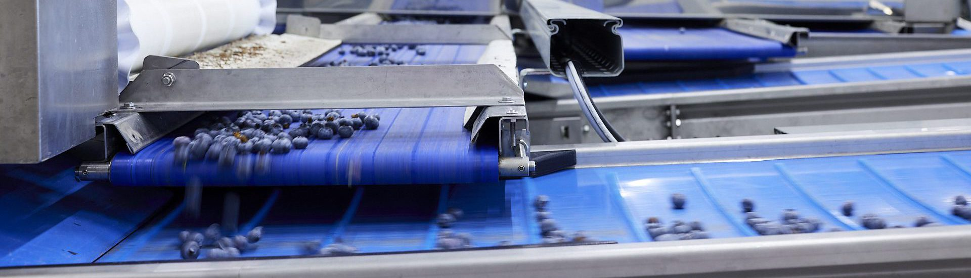 Blauwe bessen op kunststof transportband