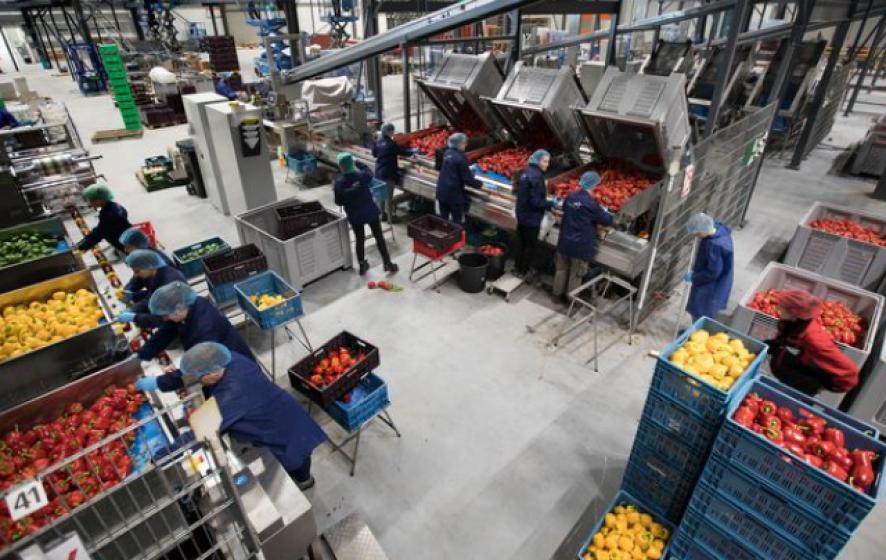 Paprika sorteerproductie